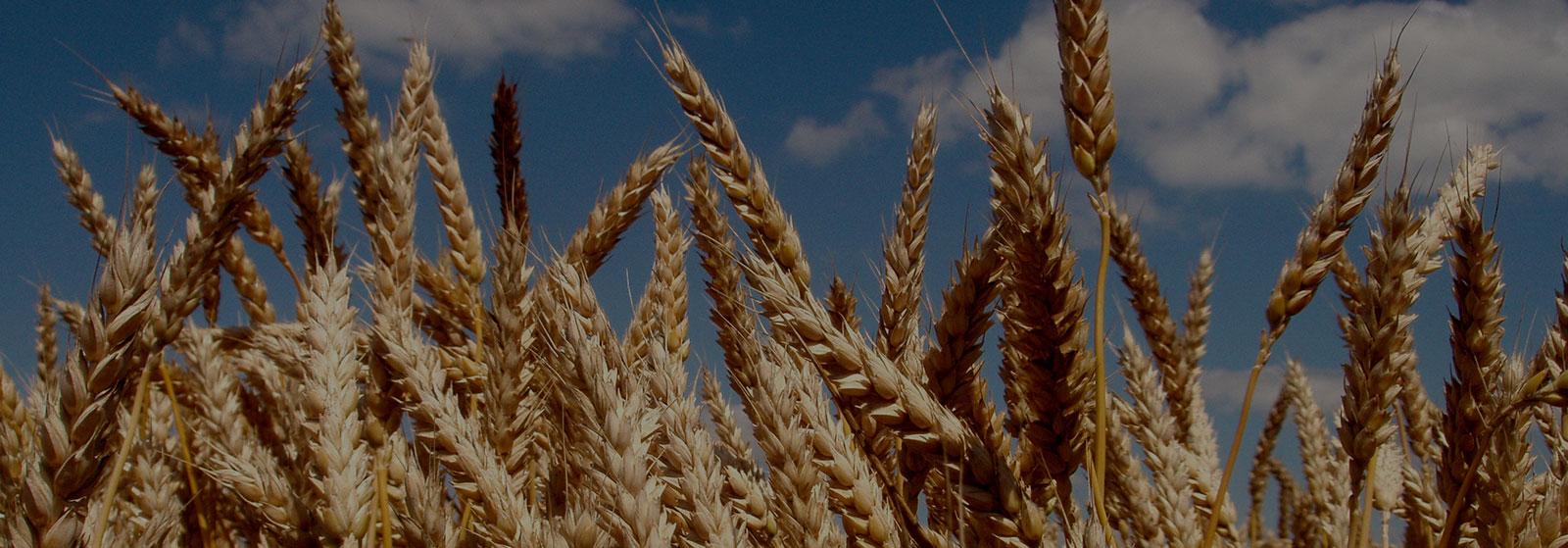 Будьте уверены в своем урожае даже при нехватке влаги и удобрений, используя уникальные сорта 5-го поколения